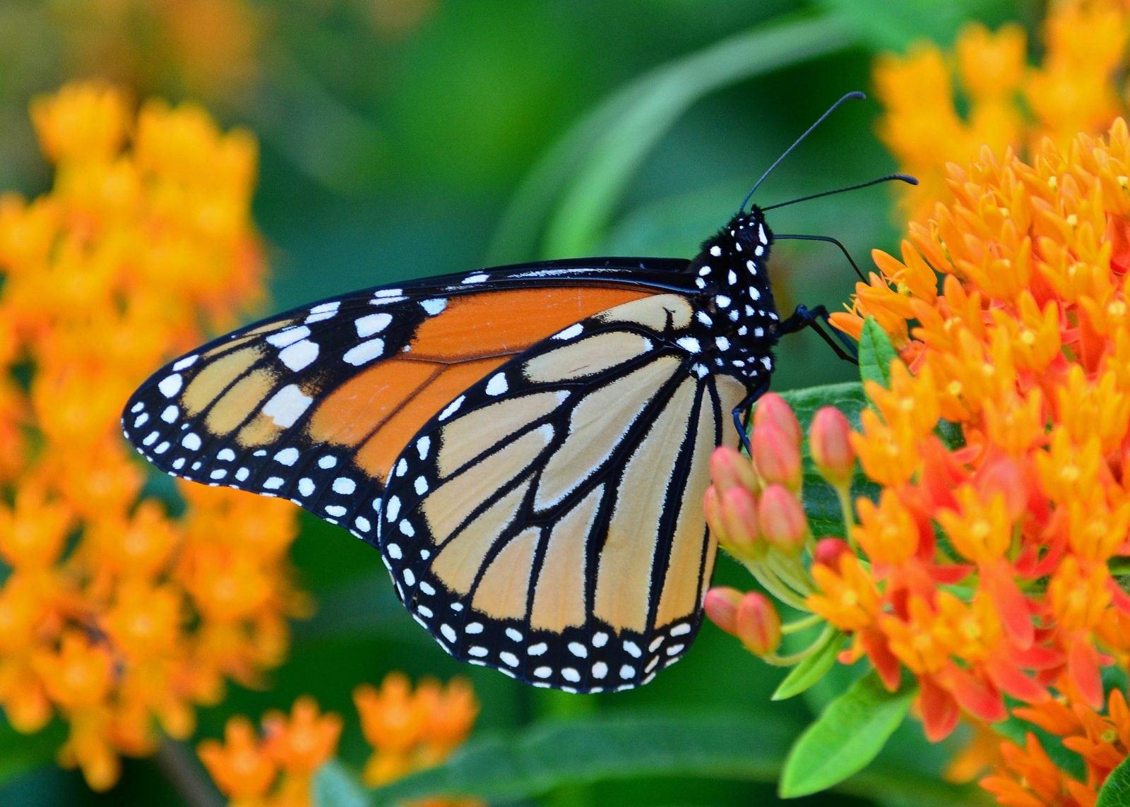 Plants That Attract Butterflies Caseys Outdoor Solutions & Florist